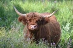 vaches-highland